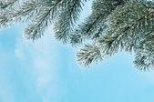 сосна — Стоковое фото