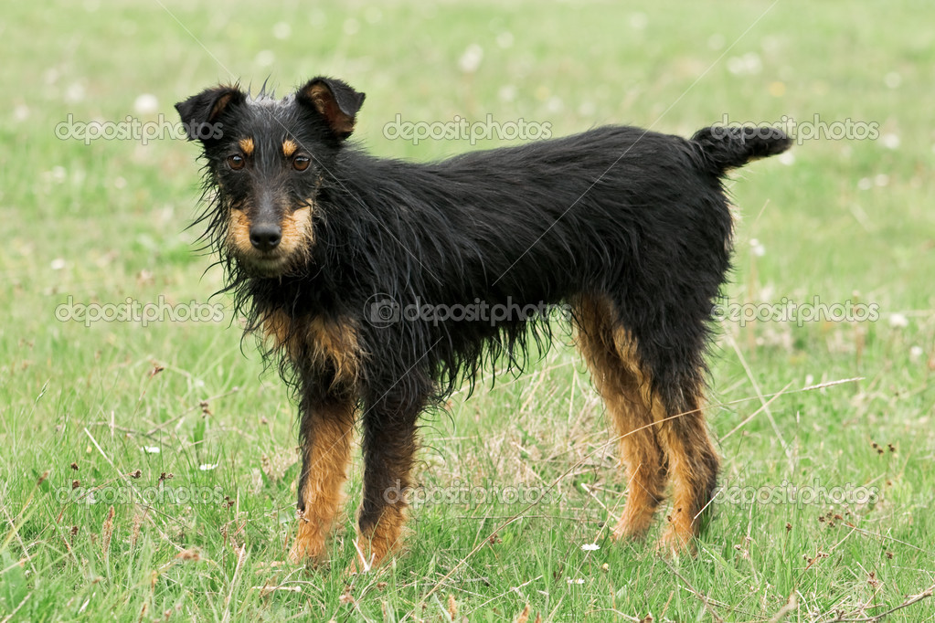 Black terrier on grass field — Stock Photo #7158135