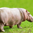 Hippopotamus — Stock Photo #7160070