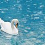 Swan — Stock Photo #7160380
