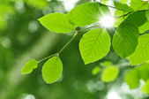 New beech leaf in morning forest — Stock Photo
