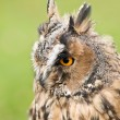 Owl with yellow eyes — Stock Photo