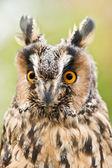 Owl with yellow eyes — Stock Photo