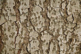 Fir tree bark — Stock Photo