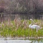 Swan — Stock Photo #7232912