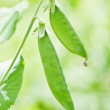 Green pea pod on twig - Stock Photo