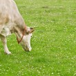 Beige grazing cow on green field — Stock Photo