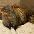 Mongoose — Stock Photo #7234712