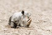 Rhinoceros — Стоковое фото