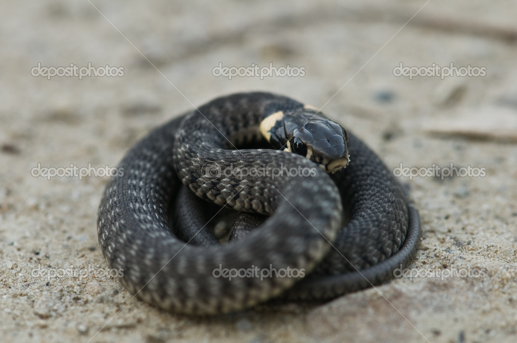 Curled grass snake close up  Photo #7233081