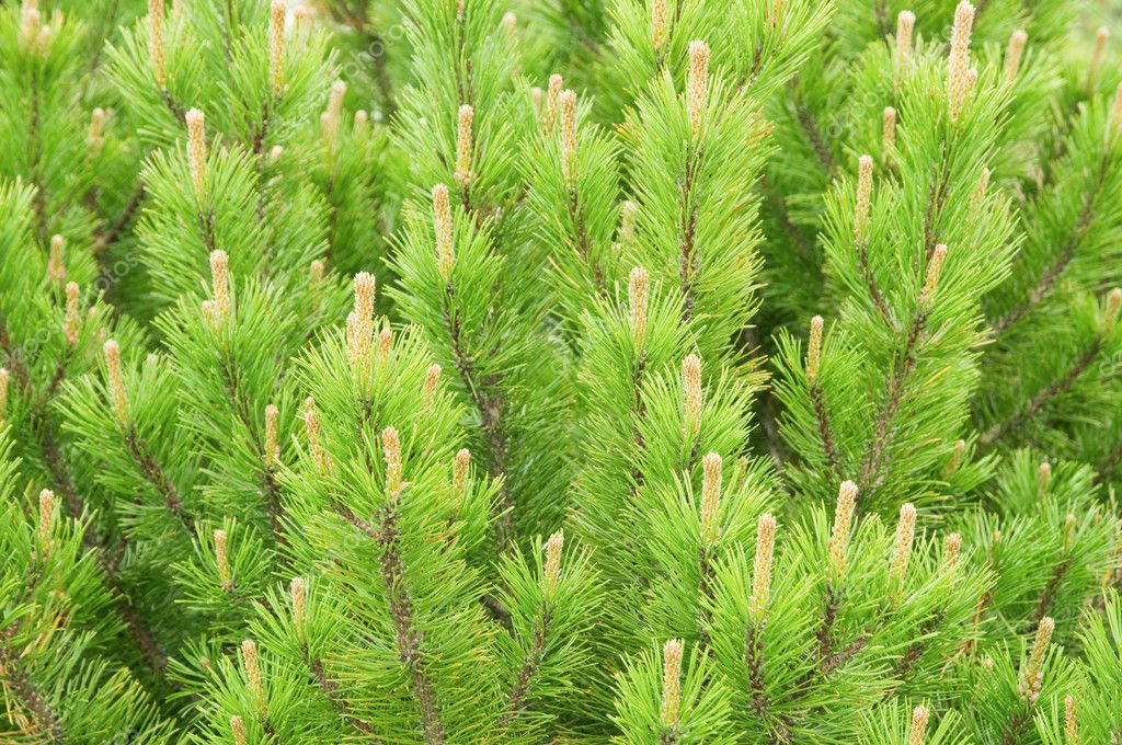 Young pine twig close up — Stock Photo #7824570