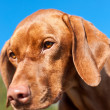 Closeup of a Staring Vizsla Dog — Stock Photo