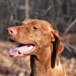 Happy Looking Vizsla Dog in the Woods in Autumn — Stock Photo