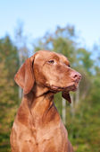 Vizsla Dog Portrait in Autumn — Stock Photo
