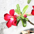 Red impala lily flowers in front of white wall. — Stock Photo