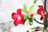 Röd impala lily blommor framför vita vägg. — Stockfoto