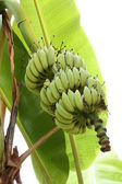Green bunch of bananas on banana tree. — Stock Photo