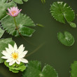 Shady pond with some lotus and green leafs. — Stock Photo