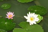 Shady pond'a ve diğer küçük beyaz lotus. — Stok fotoğraf