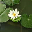 Stock Photo: Lotus and green leafs in shady pond