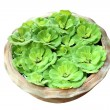 Green pistia stratiotes in pottery — Stock Photo