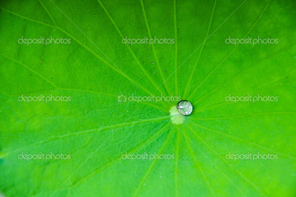 Water drop on Lotus leaf  Stock Photo #7904972