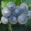 Stock Photo: Greater burdock