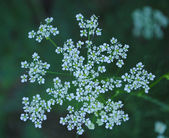 Early morning Caraway flower — Stock Photo
