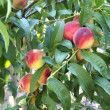 Peach on tree — Stock Photo