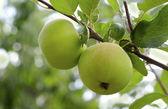Green apples on tree — Stock Photo