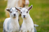Goatling curiosity — Stock Photo
