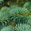 Pine tree, the symbol of Christmas. Closeup of branches - Stock Photo