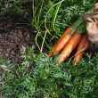 Carrots just pickerd and ready to eat and work gloves — Stockfoto