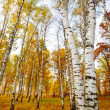 Forest birch — Stock Photo #7136854
