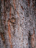 Closeup of tree bark rough texture — Stock Photo