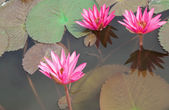 Water lilly or Thailand — Stock Photo