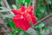 Red hibicus is blooming in the morning sunlight, Chonburi Thaila — Stock Photo