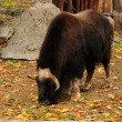 Royalty-Free Stock Photo: Muskox