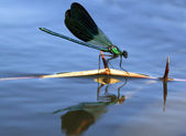 Dragonfly sailing in a stick — Stock Photo