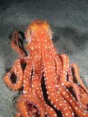 Octopus Macropus — Stock Photo