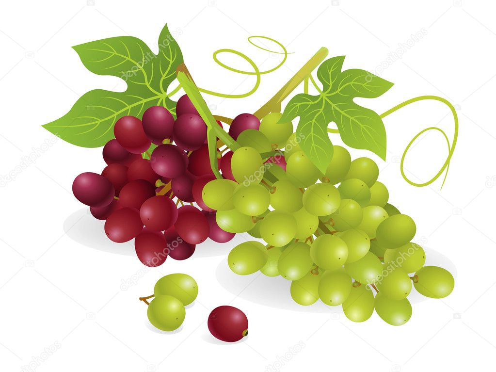 Realistic vector illustration of white and purple grapes, with vines. — Stock Vector #6889629