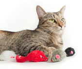 Lying grey cat with toy mice — Stock Photo