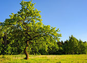 Young oak tree in meadow — Stock Photo