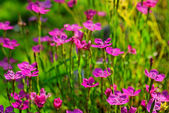 Tiny pink flowers — Stock Photo