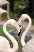 Flamingos — Stock Photo