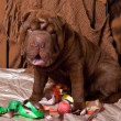 Stock Photo: Photo Shar-Pei