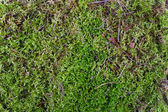 Green forest moss texture — Stock Photo