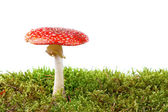 Red amanita in moss isolated on white background — Stock Photo