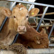 A Young Jersey Cow in Cowshed — Stock Photo