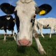 A Curious Cow — Stock Photo #7947020
